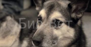 Межпальцевый дерматит у собак