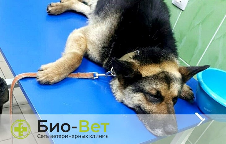 Остеосаркома у собак