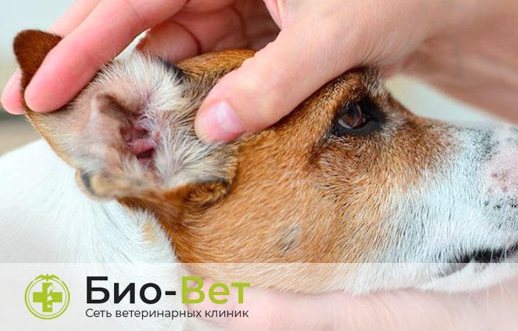 Болячки на ушах у собаки